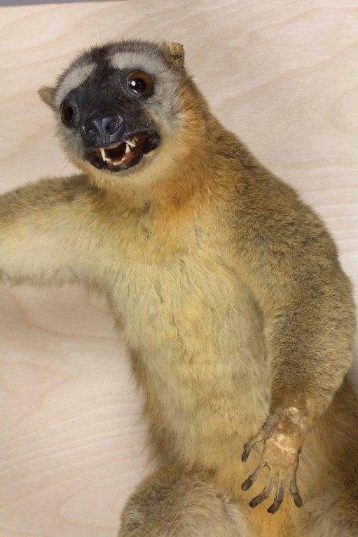 after treatment lemur