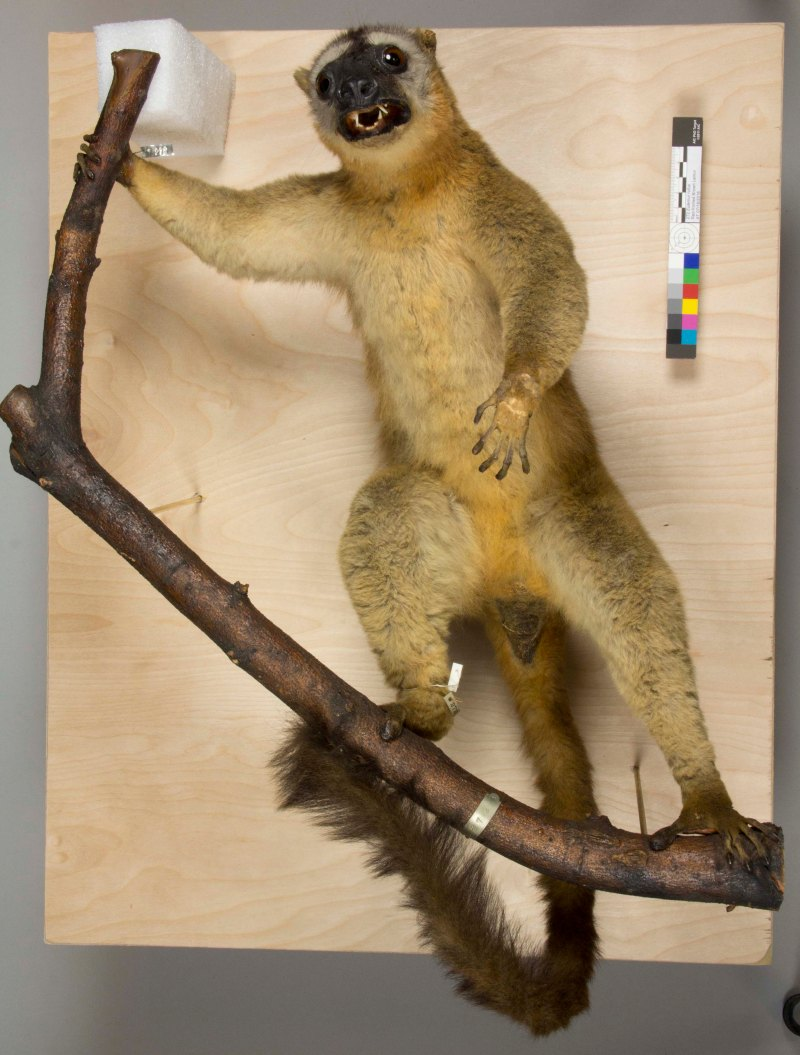 after treatment lemur taxidermy mount
