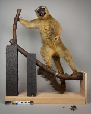 Before Treatment of lemur.